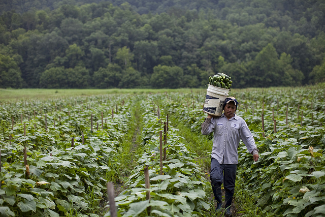 Migrant Worker and Cucumbers, Blackwater, VA